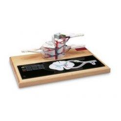 Model páteřní míchy - 6x zvětšeno