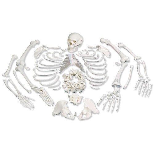 Rozložený model lidské kostry - celá kostra