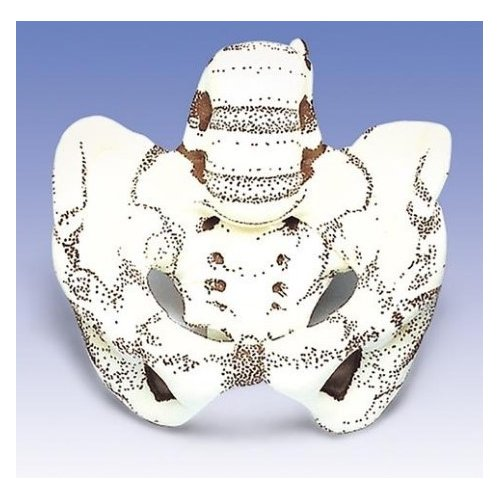 Model pánve pro simulaci porodu