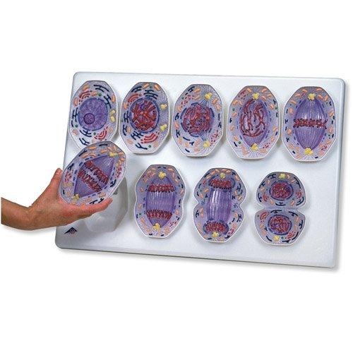 Model mitózy