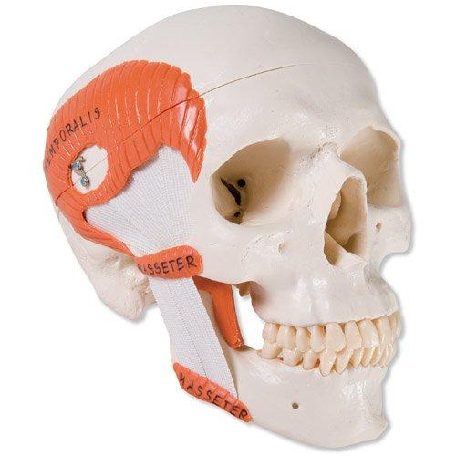 Model lidské lebky se žvýkacími svaly - funkční - 2 části
