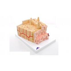 Mikroanatomický model kostní tkáně - 80x zvětšeno