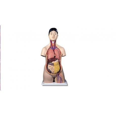 Torzo člověka - asiat - oboupohlavní - 18 částí