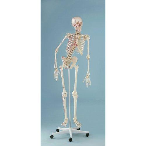 Model kostry člověka s pohyblivou páteří a vyznačením svalů