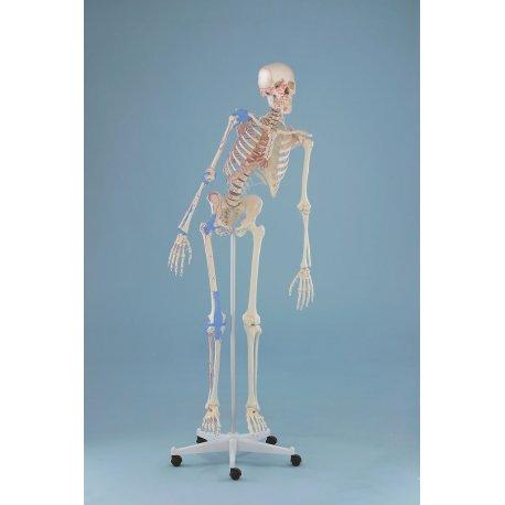 Model kostry člověka s pohyblivou páteří, vazy a vyznačením svalů