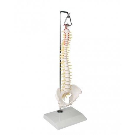 Mini model lidské páteře na závěsném stojanu
