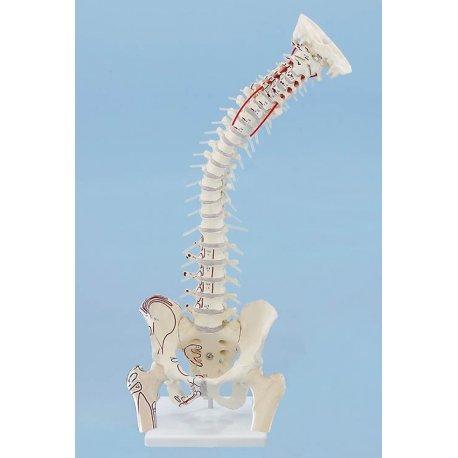 Model lidské páteře s pánví, hlavicemi stehenních kostí a vyznačením svalů