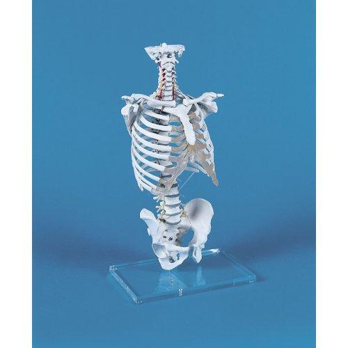 Model lidské páteře s hrudním košem
