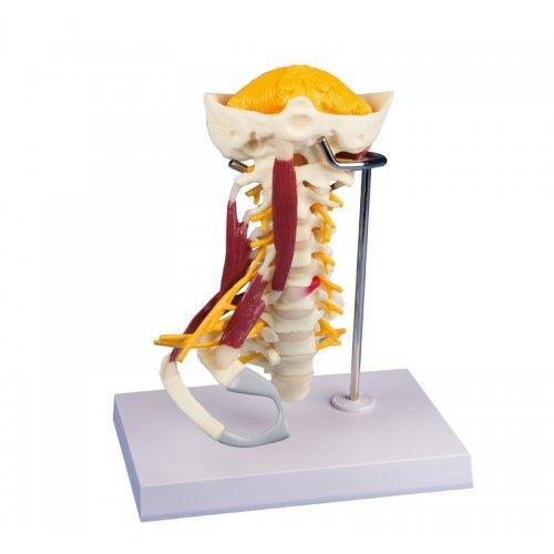 Model krční páteře se svaly