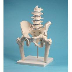 Model bederní páteře s pánví a hlavicemi stehenních kostí