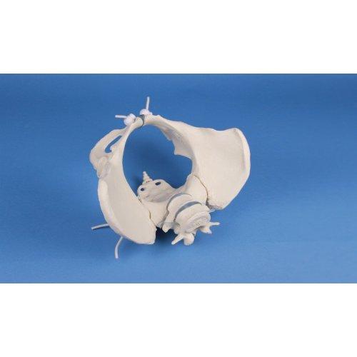 Model ženské pánve s 2 bederními obratli - pohyblivý