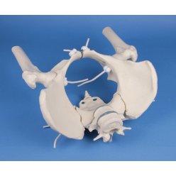 Model ženské pánve s hlavicemi stehenních kostí a 2 bederními obratli - pohyblivý