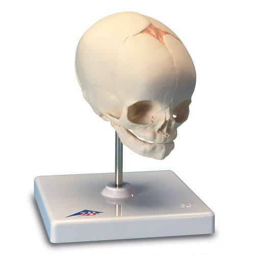 Model lebky lidského plodu - 30. týden - na podstavci