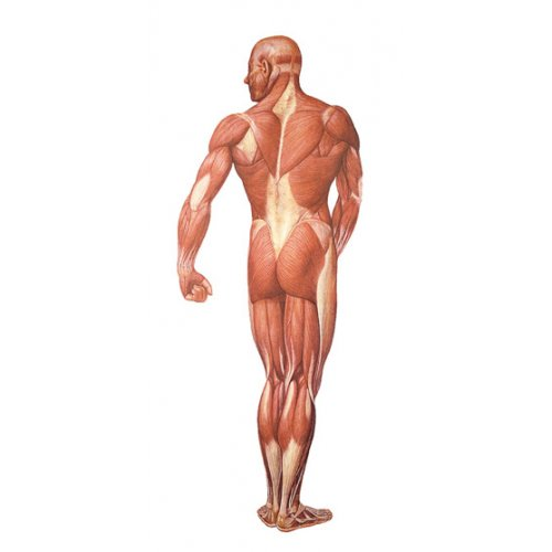 Schéma - lidské svalstvo - zadní pohled - papír - 84x200 cm