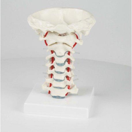 Model lidské krční páteře