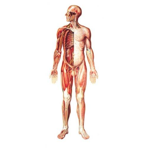 Schéma - lidský nervový systém - čelní pohled - papír - 84x200 cm