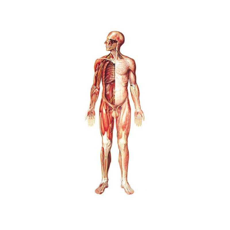 Schéma - nervový systém čelní pohled - papír - 84x200 cm