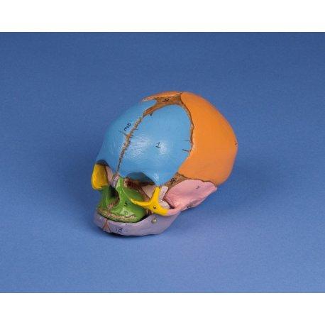 Model lebky plodu - 38. týden - didaktický