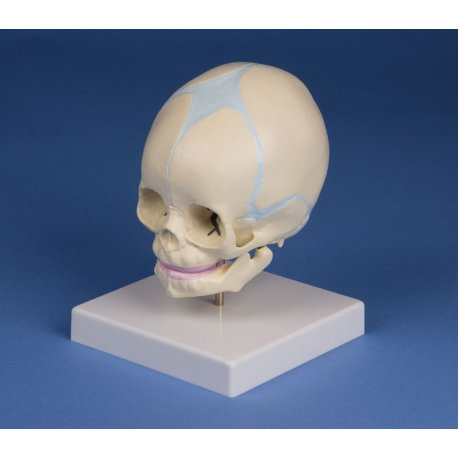 Model lebky plodu - 30. týden