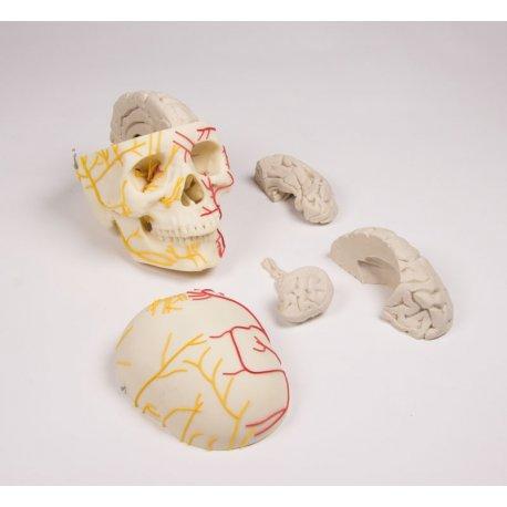 Neurovaskulární model lebky s mozkem