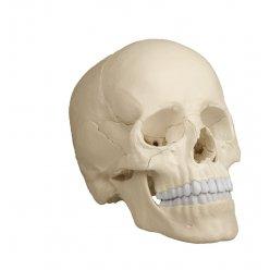 Osteopatický model lebky, 22 částí, anatomická verze