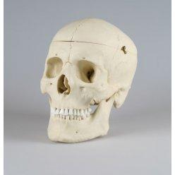 Model lebky dospělého muže