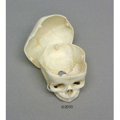 Lebka plodu s odnímatelnou klenbou - 40. týden