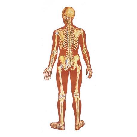 Schéma - lidská kostra zadní pohled - papír - 84x200 cm