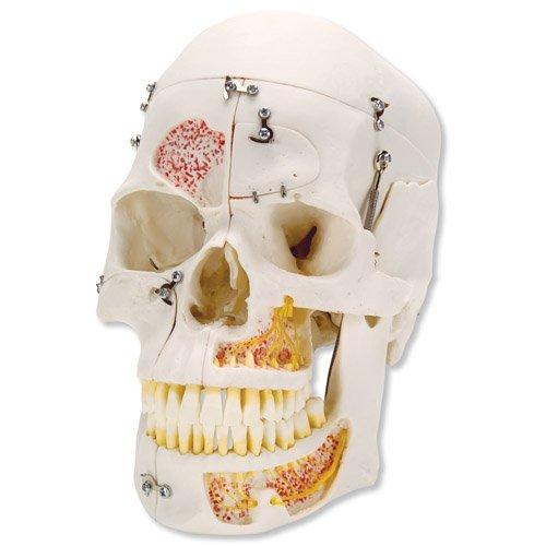 Model lidské lebky - demonstrační - 10 částí