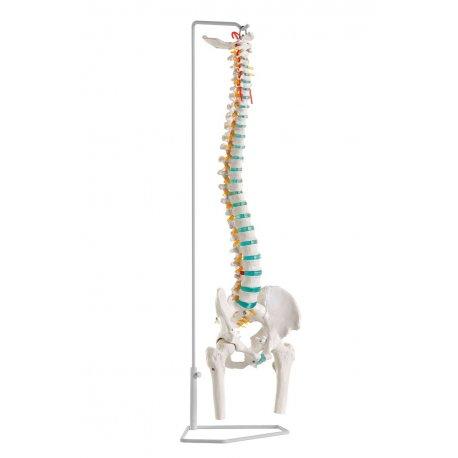 Ohebný model páteře s hlavicemi stehenních kostí