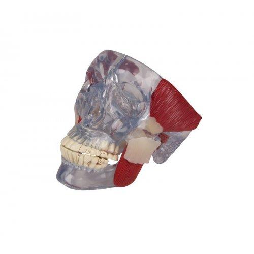 Model čelistního kloubu