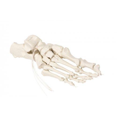 Kostra lidské nohy spojená nylonem