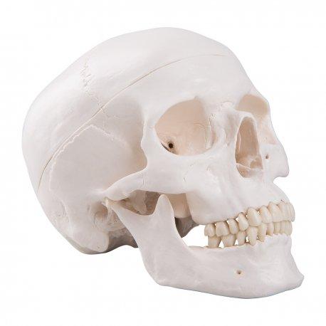Model lidské lebky - klasický