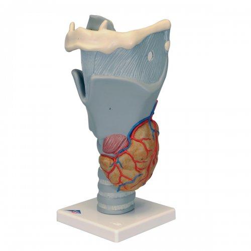 Model lidského hrtanu - funkční - 2,5x zvětšeno