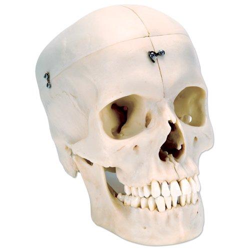Model lidské lebky - BONElike™ - 6 částí