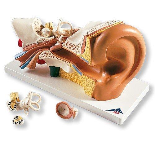 Model lidského ucha - třikrát zvětšeno - 4 části