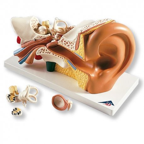 ucho - třikrát zvětšeno - 4 části