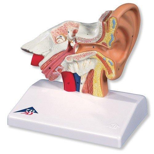 Model lidského ucha na stůl