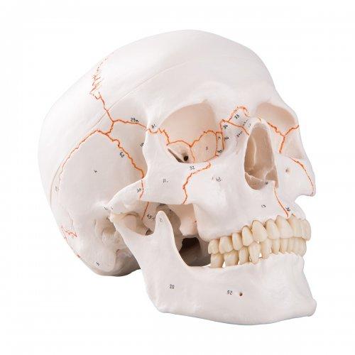 Model lidské lebky - klasický - očíslovaný