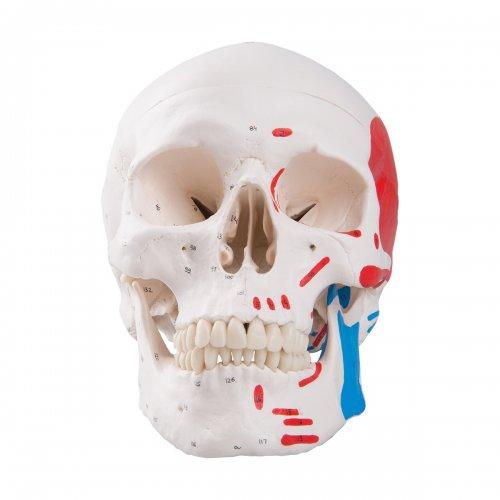 Model lidské lebky s malovanými svaly - 3 části