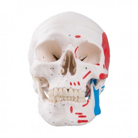 Model lebky s malovanými svaly - 3 části