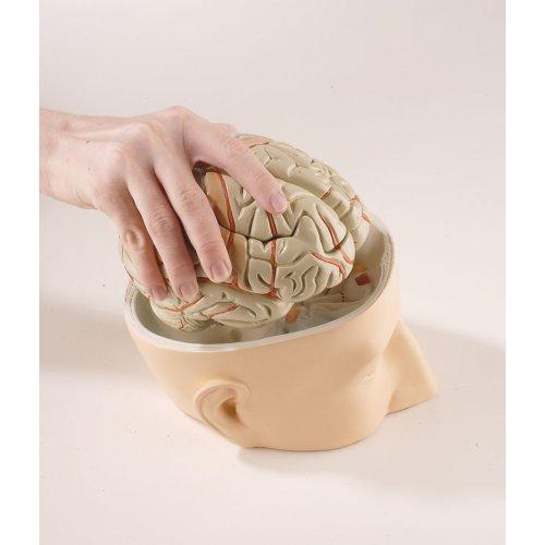 Model hlavy s mozkem - 7 částí