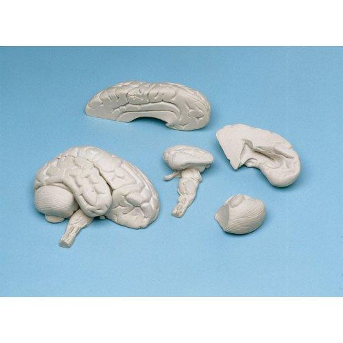 Model lidského mozku - měkký, 8 částí