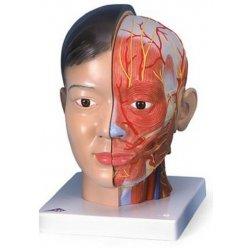 Model lidské hlavy s krkem - 4 části - asiat