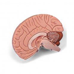 Model lidského mozku - 2 části