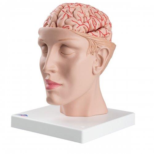 Model lidského mozku s tepnami vsazený do hlavy - 8 částí - DOPRODEJ