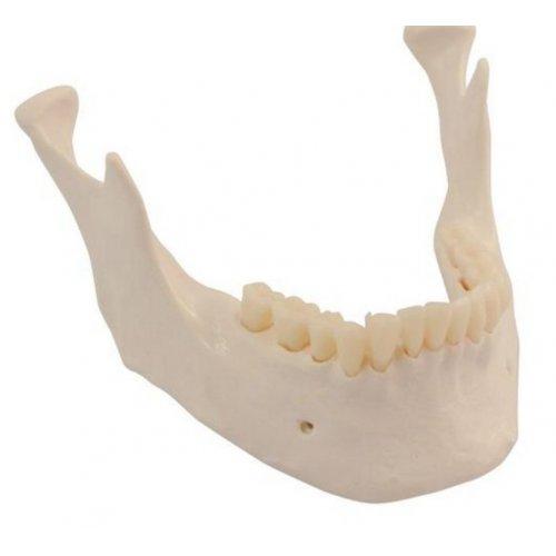 Náhradní kostra spodní čelisti se zuby pro všechny modely lidské kostry