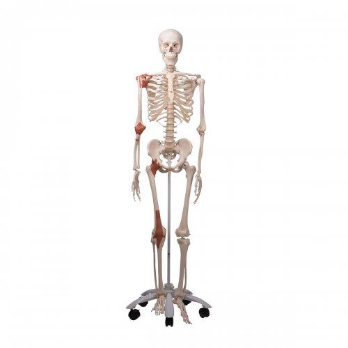Model lidské kostry s vazy - na pojízdném stojanu