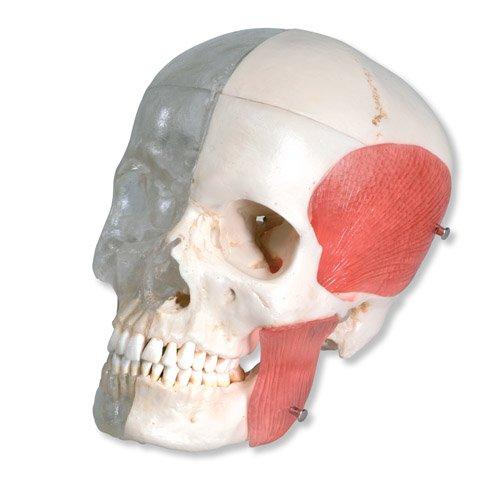 Model lidské lebky - BONElike™ - polovina transparentní, polovina se žvýkacími svaly - 8 částí