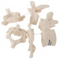 Model pěti lidských obratlů na nylonovém vláknu